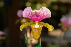 Λουλούδι ορχιδεών Paphiopedilum. Στοκ Εικόνα