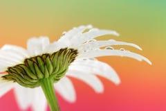 Λουλούδι ουράνιων τόξων Στοκ φωτογραφίες με δικαίωμα ελεύθερης χρήσης