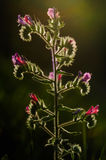 Λουλούδι οχιάς bugloss Στοκ εικόνες με δικαίωμα ελεύθερης χρήσης