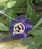 Λουλούδι πάθους Στοκ Φωτογραφίες