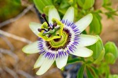 Λουλούδι πάθους Στοκ Εικόνα