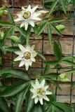 Λουλούδι πάθους Στοκ εικόνες με δικαίωμα ελεύθερης χρήσης
