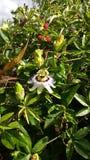 Λουλούδι πάθους Στοκ εικόνα με δικαίωμα ελεύθερης χρήσης