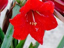 Λουλούδι Πάσχας Στοκ Φωτογραφία