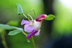 Λουλούδι παπαγάλων psittacina Impatiens σε Doi Luang Chiang Dao, Chiang Mai, Ταϊλάνδη Στοκ Εικόνες
