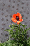 Λουλούδι παπαρουνών ενάντια στον γκρίζο τοίχο πετρών Στοκ Εικόνες
