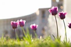 Λουλούδι παπαρουνών με το βουνό Στοκ Φωτογραφίες