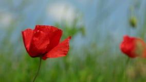 Λουλούδι παπαρουνών που κυματίζει στον αέρα στον τομέα, σωστό τηγάνι απόθεμα βίντεο