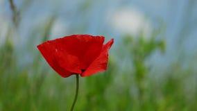 Λουλούδι παπαρουνών που κυματίζει στον αέρα στον τομέα απόθεμα βίντεο