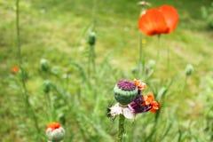 Λουλούδι παπαρουνών που τινάζεται Στοκ Φωτογραφίες