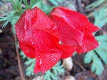 Λουλούδι παπαρουνών που φέρνει τα μικροσκοπικά σταγονίδια του νερού στοκ εικόνες
