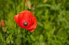 Λουλούδι παπαρουνών στη φύση Στοκ Εικόνες