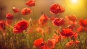 Λουλούδι παπαρουνών στον ήλιο στοκ εικόνα με δικαίωμα ελεύθερης χρήσης