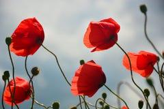 Λουλούδι παπαρουνών στον ουρανό Στοκ Φωτογραφίες