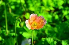Λουλούδι παπαρουνών το καλοκαίρι Στοκ Εικόνες