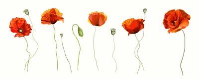 Λουλούδι παπαρουνών Διανυσματική απεικόνιση