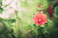 Λουλούδι παπουτσιών ή Hibiscus τρύγος Στοκ εικόνα με δικαίωμα ελεύθερης χρήσης