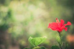 Λουλούδι παπουτσιών ή Hibiscus τρύγος Στοκ φωτογραφία με δικαίωμα ελεύθερης χρήσης