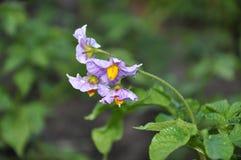 Λουλούδι πατατών. Στοκ Εικόνες