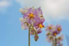 Λουλούδι πατατών Στοκ Εικόνες