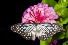 Λουλούδι πεταλούδων και της Zinnia Στοκ εικόνα με δικαίωμα ελεύθερης χρήσης