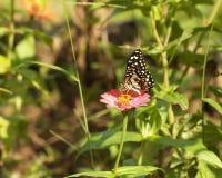 Λουλούδι πεταλούδων και της Zinnia Στοκ Εικόνες