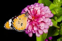 Λουλούδι πεταλούδων και της Zinnia Στοκ φωτογραφίες με δικαίωμα ελεύθερης χρήσης