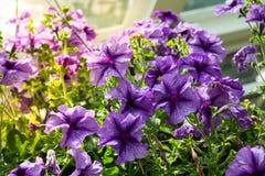 Λουλούδι πετουνιών στον κήπο, το υπόβαθρο φύσης ή την ταπετσαρία Στοκ φωτογραφία με δικαίωμα ελεύθερης χρήσης