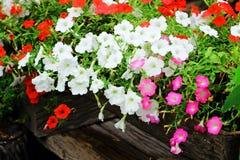 Λουλούδι πετουνιών Στοκ εικόνες με δικαίωμα ελεύθερης χρήσης