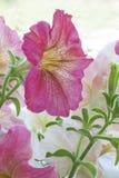 Λουλούδι πετουνιών στοκ φωτογραφίες με δικαίωμα ελεύθερης χρήσης