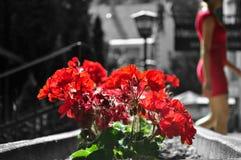 Λουλούδι πελαργονίων με τη γυναίκα στο κόκκινο φόρεμα Στοκ Εικόνες