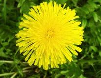 Λουλούδι πικραλίδων στον κήπο σε μια μακρο άποψη κινηματογραφήσεων σε πρώτο πλάνο θερινής ημέρας άνοιξης με το υπόβαθρο της πράσι Στοκ εικόνες με δικαίωμα ελεύθερης χρήσης