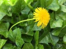 Λουλούδι πικραλίδων στον κισσό Στοκ Εικόνες