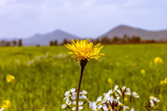 Λουλούδι πικραλίδων στον τομέα Στοκ εικόνα με δικαίωμα ελεύθερης χρήσης