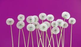 Λουλούδι πικραλίδων στο ρόδινο υπόβαθρο Στοκ φωτογραφίες με δικαίωμα ελεύθερης χρήσης