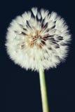 Λουλούδι πικραλίδων στο σκοτεινό υπόβαθρο στοκ εικόνα