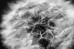 Λουλούδι πικραλίδων στο σκοτεινό υπόβαθρο Στοκ Φωτογραφία