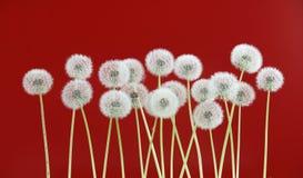 Λουλούδι πικραλίδων στο σκούρο κόκκινο υπόβαθρο Στοκ Φωτογραφία