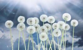 Λουλούδι πικραλίδων στο σκούρο μπλε υπόβαθρο ουρανού Φωτεινά σύννεφα, όμορφο τοπίο σε θερινή περίοδο Στοκ Εικόνες