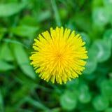 Λουλούδι πικραλίδων Στοκ Εικόνες