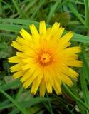 Λουλούδι 1 πικραλίδων Στοκ Φωτογραφίες