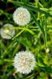Λουλούδι πικραλίδων Στοκ Φωτογραφία