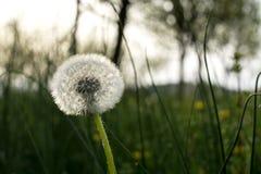 Λουλούδι πικραλίδων Στοκ φωτογραφίες με δικαίωμα ελεύθερης χρήσης
