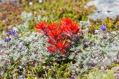 Λουλούδι πινέλων Στοκ Φωτογραφίες