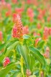 Λουλούδι πιπεροριζών. Το επιστημονικό όνομα (speciosus costus) ή (Cheilo Στοκ εικόνες με δικαίωμα ελεύθερης χρήσης