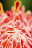 Λουλούδι πιπεροριζών φανών Στοκ φωτογραφία με δικαίωμα ελεύθερης χρήσης