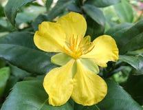 Λουλούδι ποντικιών εμπαιγμών Στοκ Εικόνες