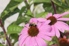 Λουλούδι-πορφύρα κώνων με τη μέλισσα Στοκ εικόνα με δικαίωμα ελεύθερης χρήσης