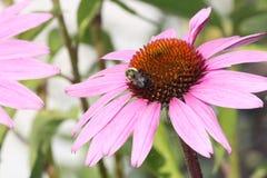 Λουλούδι-πορφύρα κώνων με τη μέλισσα Στοκ Φωτογραφία