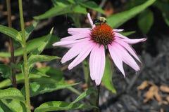 Λουλούδι-πορφύρα κώνων με τη μέλισσα Στοκ Εικόνες